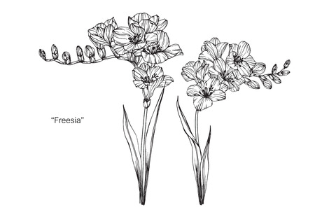 Freesia flower. Drawing and sketch with black and white line-art.