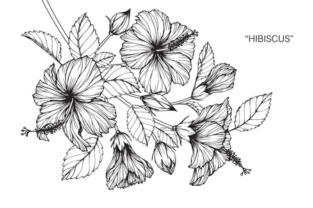 Hibiscus flower. Drawing and sketch with black and white line-art. Ilustração