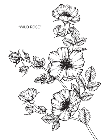 Wild rose flower. Drawing and sketch with black and white line-art. Illustration