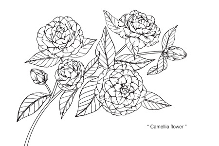 Camellia flower. Drawing and sketch with black and white line-art.