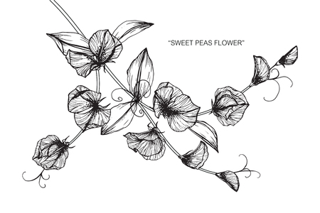 Sweet peas flower. Drawing and sketch with black and white line-art. Illustration