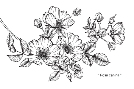 Rosa canina flower. Drawing and sketch with black and white line-art. Ilustração