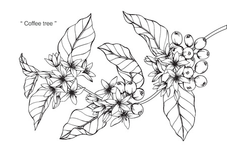 Coffee tree. Drawing and sketch with black and white line-art.