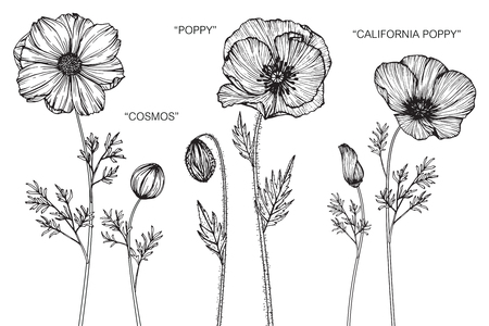 Cosmos, Poppy and California poppy flower. Drawing and sketch with black and white line-art.