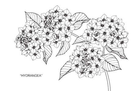 Hydrangea flower. Drawing and sketch with black and white line-art.