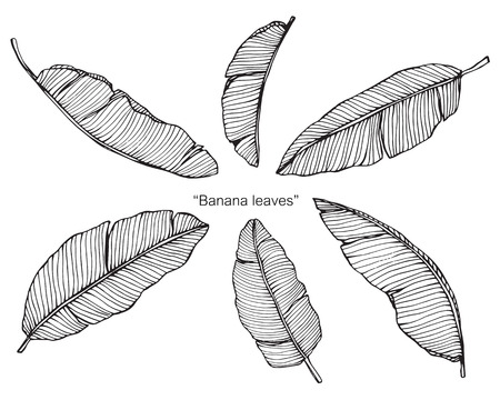 Banana leaf. Drawing and sketch with black and white line-art. Illustration