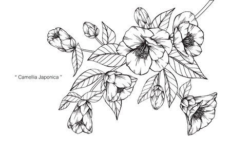 Camellia japonica flower. Drawing and sketch with black and white line-art. Illustration