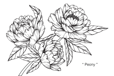 Peony flower. Drawing and sketch with black and white line-art.