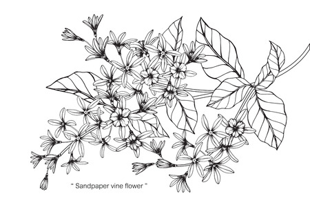 Sandpaper vine flower. Drawing and sketch with black and white line-art.