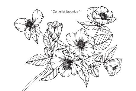 Camellia Japonica flower drawing. Illusztráció