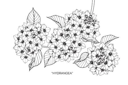 Hydrangea flower drawing.