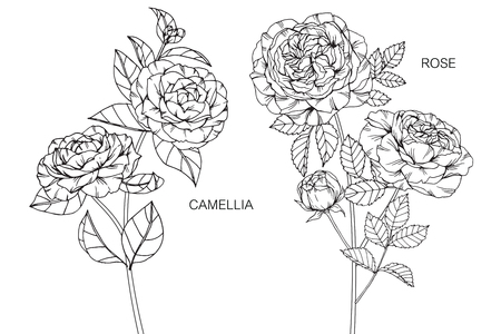 Rose and Camellia flower drawing. Illustration