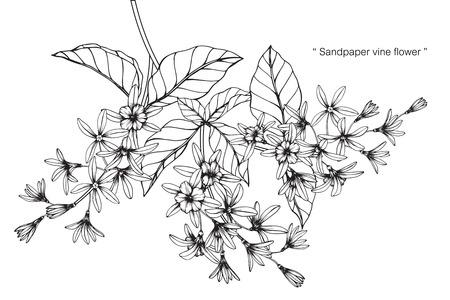 Sandpaper vine flower drawing.
