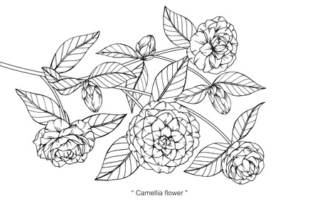 Camellia flower drawing.