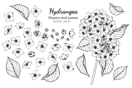 Collection set of hydrangea flower and leaves drawing illustration. for pattern, template, banner, posters, invitation and greeting card design.