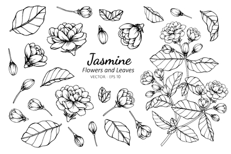Collection set of jasmine flower and leaves drawing illustration. for pattern, logo, template, banner, posters, invitation and greeting card design.