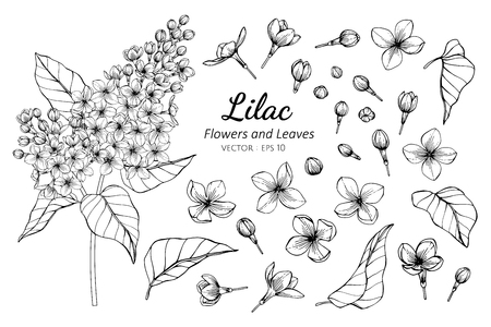 Collection set of lilac flower and leaves drawing illustration. for pattern, logo, template, banner, posters, invitation and greeting card design.