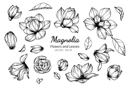 Collection set of magnolia flower and leaves drawing illustration. for pattern, template, banner, posters, invitation and greeting card design.
