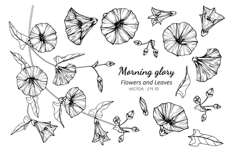 Collection set of morning glory flower and leaves drawing illustration. for pattern, logo, template, banner, posters, invitation and greeting card design.