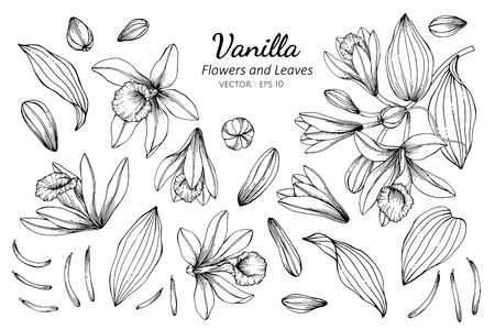 Collection set of vanilla flower and leaves drawing illustration. for pattern, logo, template, banner, posters, invitation and greeting card design.