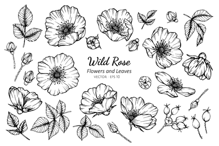 Collection set of wild rose flower and leaves drawing illustration. for pattern, logo, template, banner, posters, invitation and greeting card design.