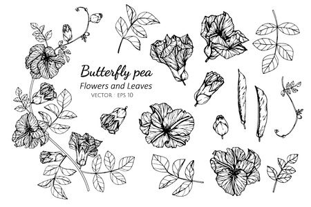Collection set of butterfly pea flower and leaves drawing illustration. for pattern, logo, template, banner, posters, invitation and greeting card design.