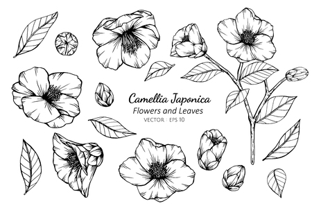 Collection set of camellia japonica flower and leaves drawing illustration. for pattern, logo, template, banner, posters, invitation and greeting card design.