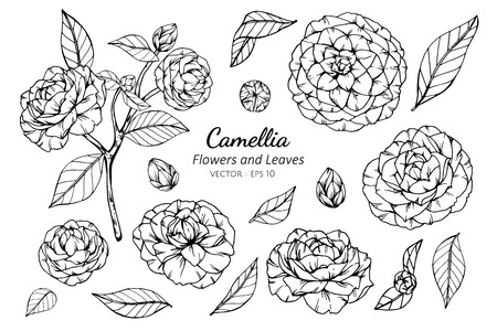 Collection set of camellia flower and leaves drawing illustration. for pattern, logo, template, banner, posters, invitation and greeting card design.  イラスト・ベクター素材