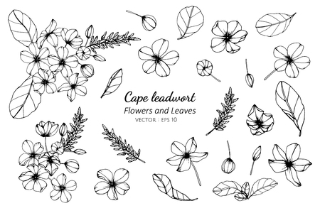 Collection set of cape leadwort flower and leaves drawing illustration. for pattern, logo, template, banner, posters, invitation and greeting card design.