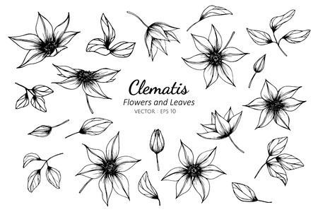 Collection set of clematis flower and leaves drawing illustration. for pattern, logo, template, banner, posters, invitation and greeting card design.