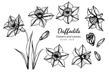 Collection set of daffodils flower and leaves drawing illustration. for pattern, logo, template, banner, posters, invitation and greeting card design.