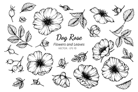 Collection set of dog rose flower and leaves drawing illustration. for pattern, logo, template, banner, posters, invitation and greeting card design. Illustration