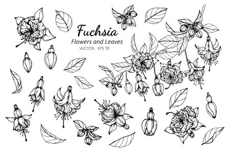 Collection set of fuchsia flower and leaves drawing illustration. for pattern, logo, template, banner, posters, invitation and greeting card design.