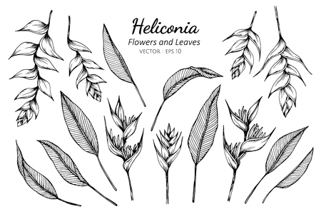 Collection set of heliconia flower and leaves drawing illustration. for pattern, logo, template, banner, posters, invitation and greeting card design. Illustration