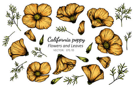 Orange California Poppy flower and leaf drawing illustration with line art on white backgrounds.