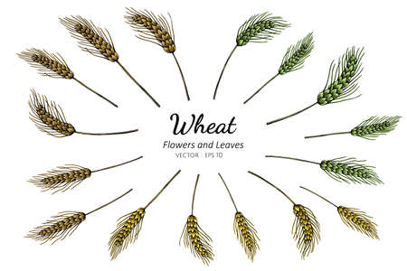 Collection set of wheat drawing illustration.