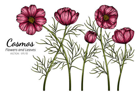 Red Cosmos flower and leaf drawing illustration with line art on white backgrounds. Illustration