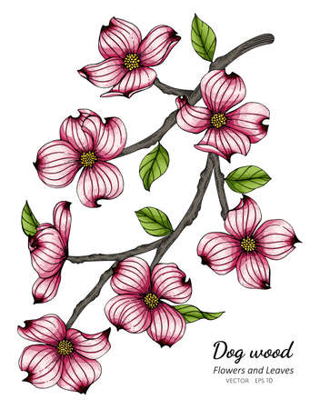 Pink dogwood flower and leaf drawing illustration with line art on white backgrounds. Illustration