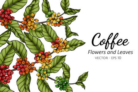 Coffee flower and leaf drawing illustration with line art on white backgrounds.