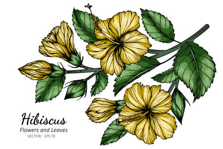 Yellow Hibiscus flower and leaf drawing illustration with line art on white backgrounds.