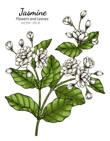 Hand drawn jasmine flower illustration with line art on white backgrounds.