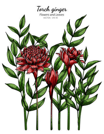 Red Torch ginger flower and leaf drawing illustration with line art on white backgrounds. Illustration