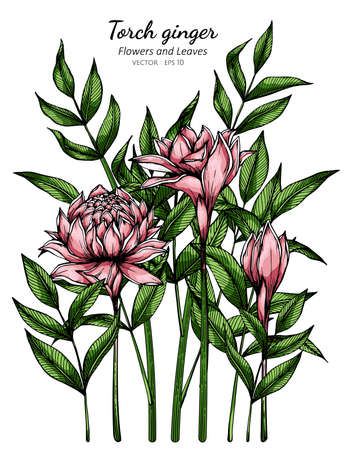 Pink Torch ginger flower and leaf drawing illustration with line art on white backgrounds.