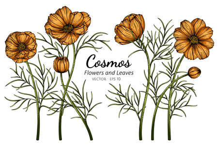 Orange Cosmos flower and leaf drawing illustration with line art on white backgrounds. Illustration