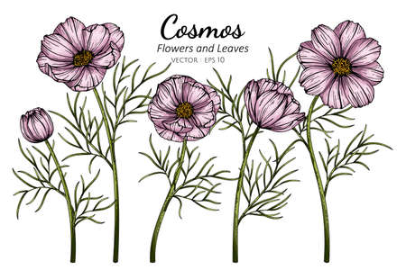 Pink Cosmos flower and leaf drawing illustration with line art on white backgrounds.