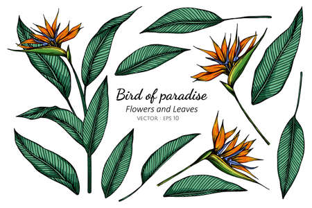 Set of Bird of paradise flower and leaf drawing illustration with line art on white backgrounds.