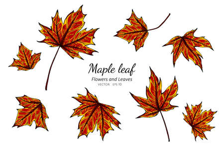 Collection set of maple leaves drawing illustration.