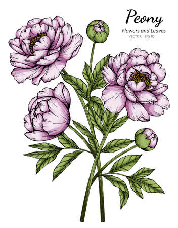 Pink Peony flower and leaf drawing illustration with line art on white backgrounds.