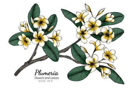 Plumeria flower and leaf drawing illustration with line art on white backgrounds. Illustration