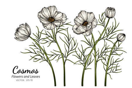 White Cosmos flower and leaf drawing illustration with line art on white backgrounds. Illustration